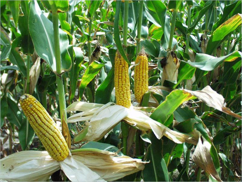 Написать доклад о кукурузе 3146